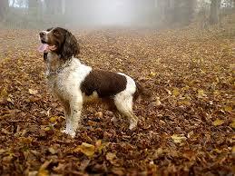 affenpinscher brown english springer spaniel dog breed information pictures