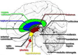 Sheep Brain Anatomy Game Brain Structures And Role Of Neurotransmitters In Information