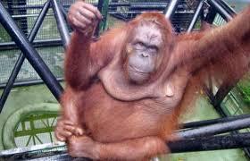 القرود انواعها  ونبذه عنها والصور Images?q=tbn:ANd9GcS3oeDniQuh1JGyLMzo3u07jATbiBoKT7CW2luJCjvifN_jIRhU
