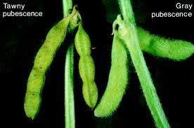 cloning of the pleiotropic t locus in soybean and two recessive