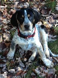 bluetick coonhound puppies for sale in ohio 32 best my favorite animal images on pinterest farm animals