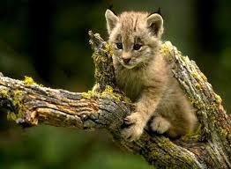القط البري images?q=tbn:ANd9GcS