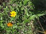 Image result for Wedelia texana