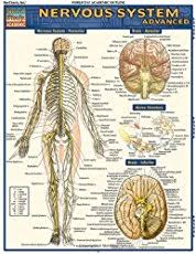Why don     t nerve cells regenerate    Quora