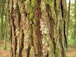 White Oak Bark Bark Wikipedia