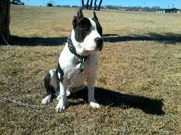 american pitbull terrier for sale in dallas texas dogs u0026 puppies for sale ads free classifieds