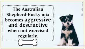 husky x australian shepherd for sale amazing information about the australian shepherd husky mix breed