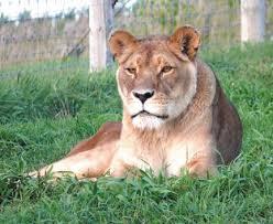 Pride: A Lion RP Images?q=tbn:ANd9GcS6GL_x-sg8OCw_uznrsmpNyJsVR-qjFt4mpAMl6JP0ztr2rRrQbg