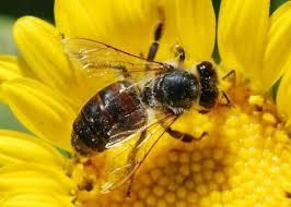 Aplicação aérea é segura para as abelhas, diz especialista norte-americano