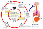 life cycle of <b>Echinococcus</b>