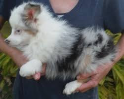 australian shepherd queen creek az australian shepherd puppies and dogs for sale in atwood indiana