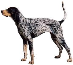 training a bluetick coonhound to hunt bluetick coonhound history u0026 training temperament