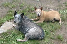 australian shepherd queensland heeler red blue and queensland heeler queensland heeler a dog of many
