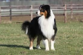 australian shepherd diseases what makes australian shepherd such an amazing dog purrs n grrs
