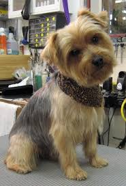 australian shepherd yorkshire terrier mix photogallery