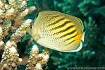 Image result for Chaetodon pelewensis