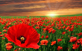 Image result for poppies
