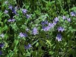 Image result for Hydrolea ovata