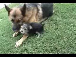 australian shepherd yorkshire terrier mix a german shepherd dog and yorkie mix puppy youtube