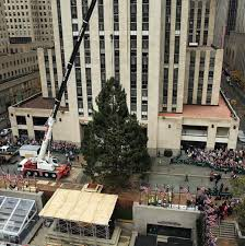 rockefeller christmas tree goes on display in new york city