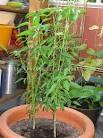 PANTIP.COM : H10285915 เพื่อนๆชาวไกลบ้านมีใครปลูกพริกขี้หนูสวนใน ...