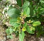 <b>Rhamnus</b> betulaefolia