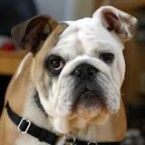 Image result for bulldog