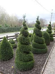 home decoration live spiral topiary tree at beautiful garden