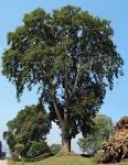 Image result for Platanus orientalis