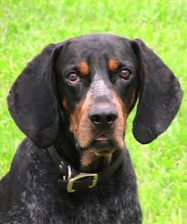 training a bluetick coonhound to hunt bluetick coonhound breed information history health pictures