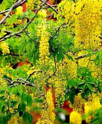 Tree With Bright Yellow Flowers - 107 best golden shower tree images on pinterest rainbow shower