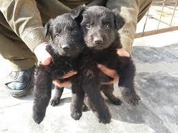 belgian sheepdog breeders in texas belgian shepherd groenendael pups for sale double coat