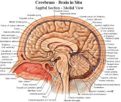 Structure Of Human Anatomy Best 25 The Human Brain Ideas Only On Pinterest Human Brain