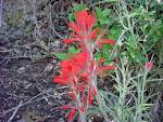 Image result for Castilleja integra