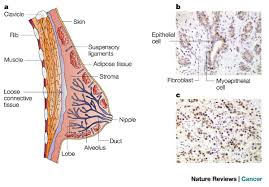Structure Of Human Anatomy Structure Of Normal And Malignant Breast Tissue A Anatomy Of The
