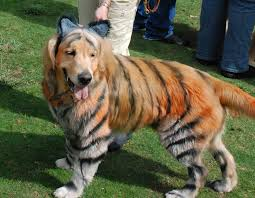 tiger halloween costumes golden retriever tiger costume humor hound halloween