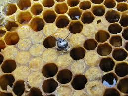 Naissance d'une abeille.