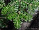 Image result for Abies balsamea