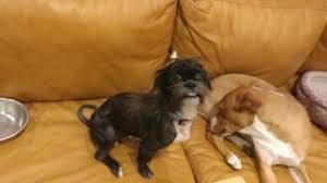 affenpinscher brown view ad affenpinscher mix dog for adoption texas houston usa
