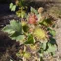 <b>Xanthium</b> strumarium – Rough