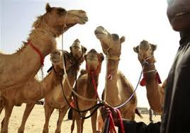 New Evidence Using Carbon Dating Contradicts the Bible  Israeli     The Christian Post  Photo  Reuters Jumana ElHeloueh Camels are seen as spectators place their bids on them during the           Camel Beauty Contest and Camel Race Festival           in Ajman