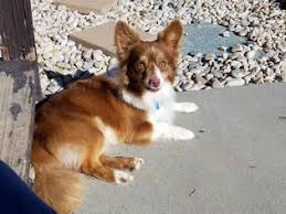 3 australian shepherd mix puppies for adoption view ad australian shepherd chihuahua mix dog for adoption utah