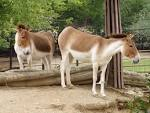 Image result for Equus kiang