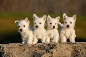 affenpinscher brown west highland white terrier dog breed information pictures