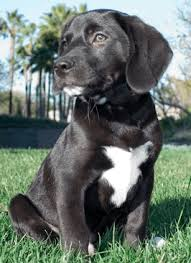 australian shepherd and lab mix beagle lab mix beagador characteristics appearance and pictures