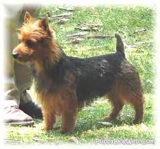 australian shepherd yorkshire terrier mix reichel farms