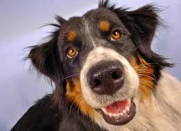 australian shepherd diseases diseases of the orbit of the eye in dogs petmd