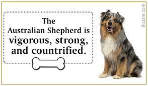 australian shepherd qualities amazing information about the australian shepherd husky mix breed