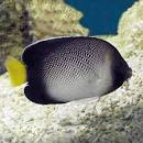 Image result for Apolemichthys xanthurus