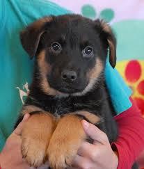 3 australian shepherd mix puppies for adoption nevada spca animal rescue 3 adorable australian shepherd mix